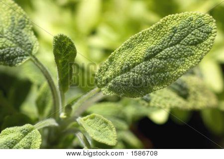 Fresh Salvia