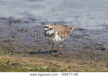 Little ringed plover looking for food in its habitat