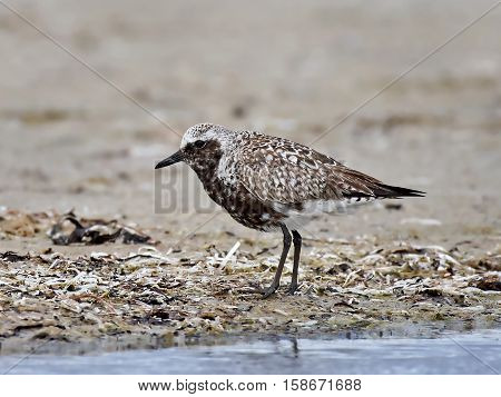 Grey plover standing in sand in its habitat