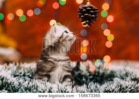 Curious scottish grey kitten sitting tinsel and looking at the pine cone with bokeh background of Christmas lights New Year concept copy space