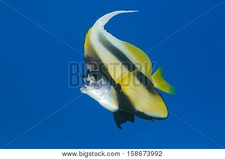 Red Sea bannerfish, Heniochus intermedius, with big blue copy space at the background.