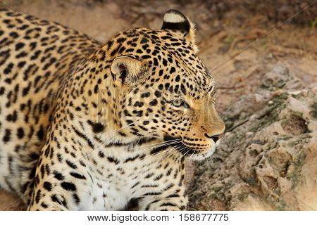 Portrait of a resting leopard (Panthera pardus), South Africa