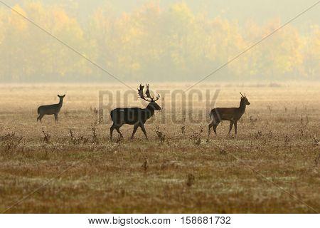 fallow deer family walking on meadow in the morning mist ( Dama )