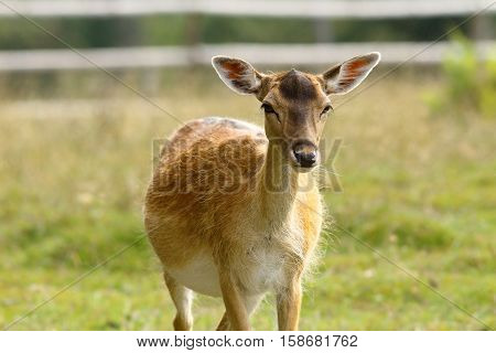 curious fallow deer hind coming towards camera ( Dama )