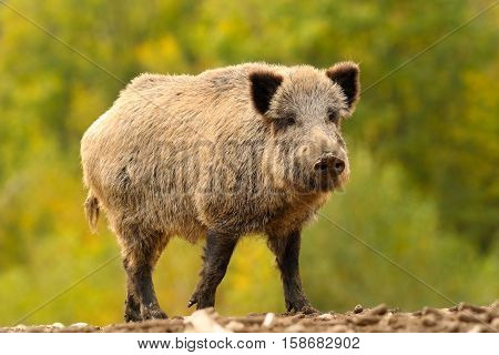 huge wild boar looking at the camera over out of focus autumn forest background ( Sus scrofa )