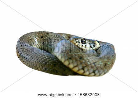 juvenile grass snake isolated over white background ( Natrix )
