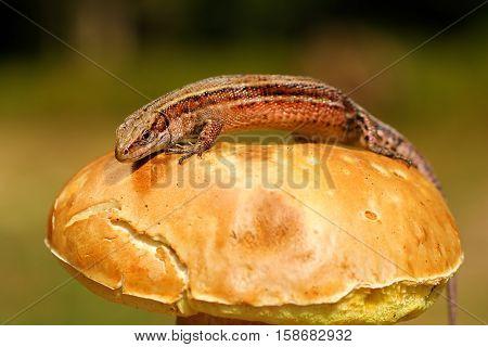 balkan wall lizard basking on mushroom ( Zootoca vivipara )