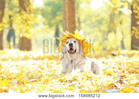 Funny labrador retriever with chaplet made of yellow leaves in beautiful autumn park