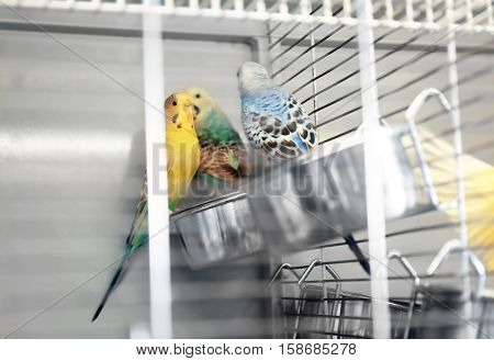 Beautiful colorful parakeets in cage, close up view