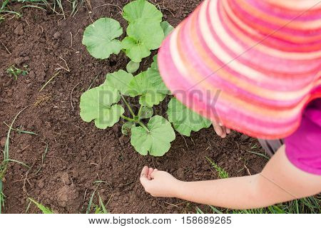 Woman weeding young melon plants at the local farm. Caring for seedlings in the garden. Organic farming and gardening in summer. Healthy lifestyle.
