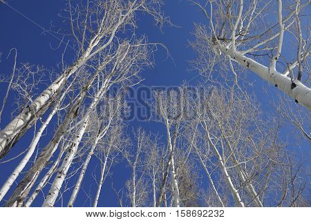 Looking up at white Aspen trees and a blue sky
