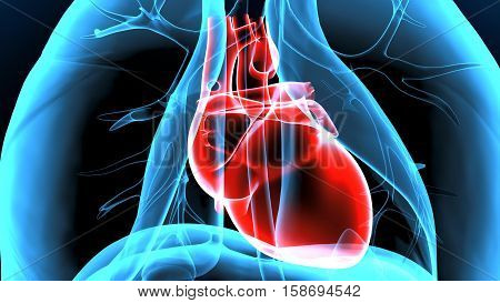 3D illustration Human Body  Heart Anatomy system.