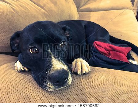 Cute dog laying down on sofa with puppy dog eyes in home living room hugging a winter slipper with space for copy