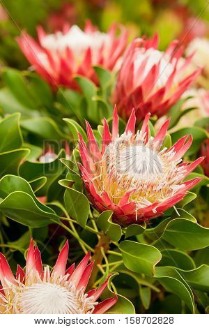 King Protea summer flower plants blossoming with open heads