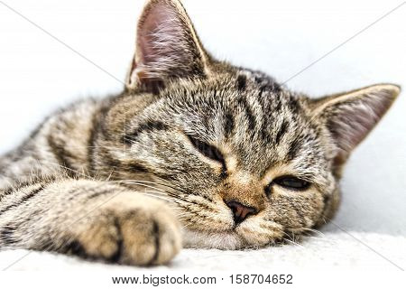 Nose of cat closeup. Feline nose macro. A cat's muzzle.