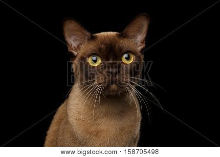 Close-up portrait of Brown Burmese Cat with Chocolate fur color and yellow eyes, Curious Looking, on isolated black background