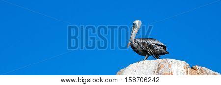 Male Pelican on La Anegada Rock at Los Arcos / Lands End at Cabo San Lucas Baja Mexico BCS