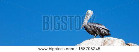 Male Pelican perched on La Anegada Rock at Los Arcos / Lands End at Cabo San Lucas Baja Mexico
