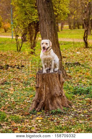 Funny young yellow labrador in beautiful autumn park on sunny day. Autumn portrait of white labrador staying still and looking in the camera. Labrador dog outdoors the autumn.