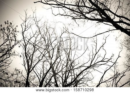 Tree branches no leaves black and white. Dry dead trees isolate white background. Tree with no leaves silhouette. Suitable for reference or source of art and design.
