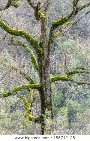 Oak Tree with Moss. Joseph D Grant County Park, Santa Clara County, California, USA