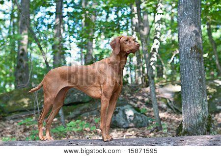 Vizsla Dog Standing On A Log