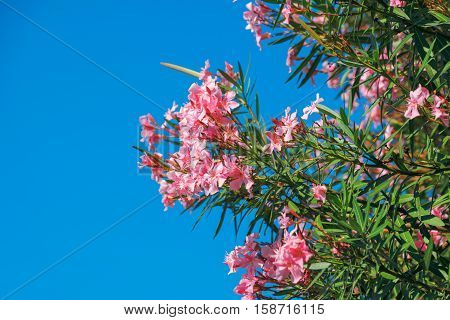 Beautiful pink nerium oleander flowers against blue sky on bright summer day