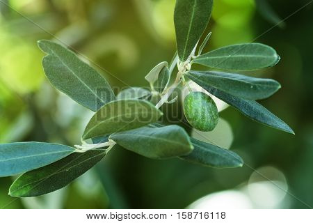 Green olive fruit on tree branch with morning sunlight selective focus