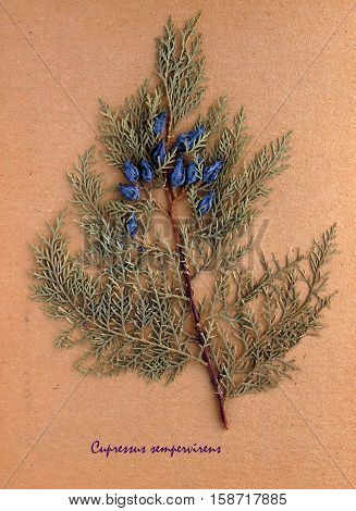 Herbarium from pressed and dried leaf of Mediterranean cypress on antique brown craft paper with Latin subscript Cupressus sempervirens.