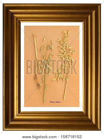 Herbarium from pressed and dried plant of The oat (Avena sativa) in the frame.