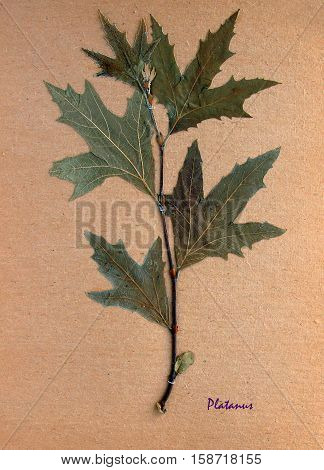 Herbarium from pressed and dried leaf of plane tree on antique brown craft paper with Latin subscript Platanus.