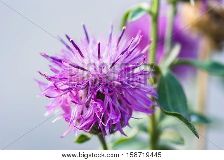 Prickly milk thistle in all its splendor on a greenish unfocused background