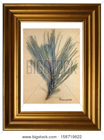 Herbarium from pressed and dried leaf of Stone pine with Latin subscript (Pinus pinea) in the frame on white background.