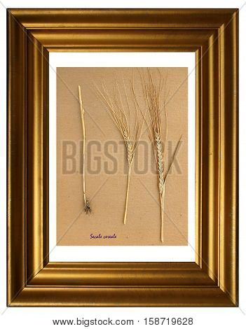 Herbarium from pressed and dried plant of Rye (Secale cereales) in the frame.