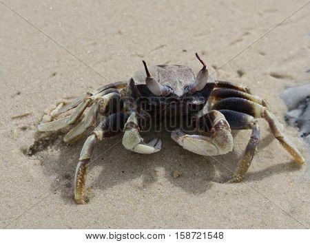 Crab on lamai beach on Koh Samui, Thailand