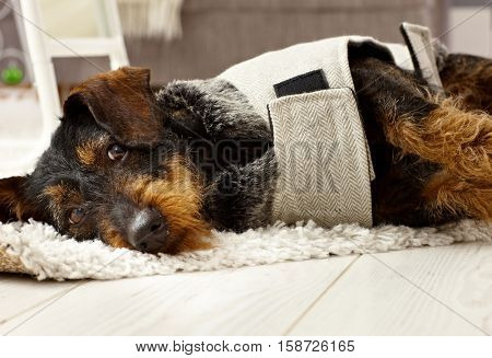 Cute dog in dog suit lying on floor.