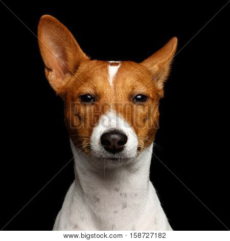 Close-up Funny Portrait White with Red Basenji Dog Curious looking in camera on Isolated Black Background, Font view