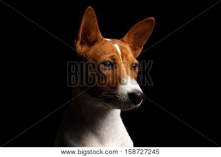 Close-up Funny Portrait White with Red Basenji Dog, profile view on Isolated Black Background
