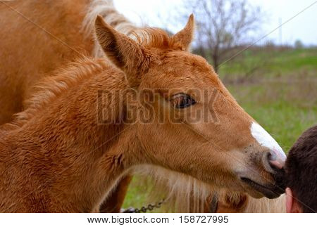 foal. Portrait of a foal of mini-horse