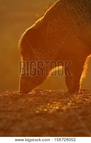 wild boar portrait in beautiful orange sunset light ( Sus scrofa )