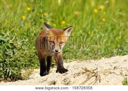 young small european fox cub ( Vulpes vulpes )
