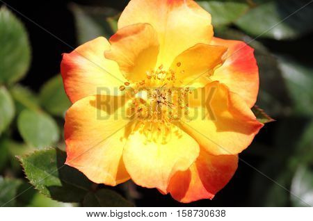 Yellow dog rose flower with red nuances