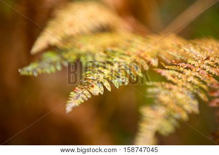 Fern. Beautiful vivid color background of autumn bracken. Fall in forest.