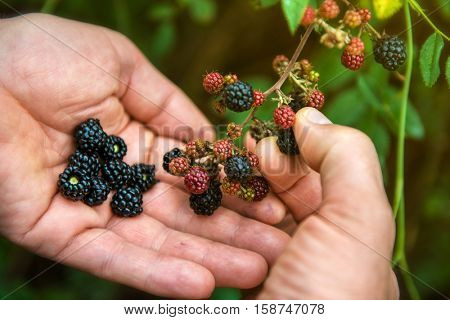 Blackberry, harvesting. Closeup view of wet blackberry's bunch and man's hands over green leaves. Autumn forest berry after rain, soft focus, image toned.