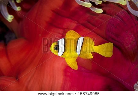 Anemonefish on Red Skirt of an Anemone