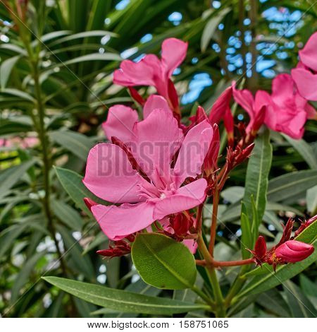 vibrant pink oleander flowers closeup in the garden
