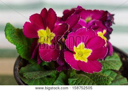 pink primrose flowers on a light background