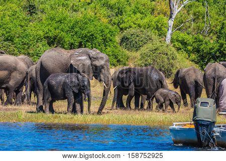 Travel to Africa. Chobe National Park in Botswana. Watering large animals in the Okavango Delta. Elephants