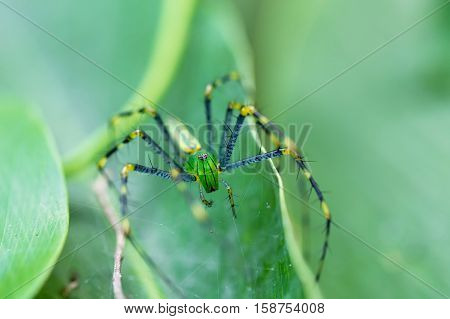 Malagasy Green Lynx Spider (peucetia Madagascariensis)