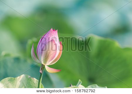pink lotus bud with green leaves in summer